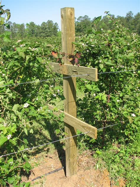 Trellis For Blackberries fruit trees what happens if you don t use a trellis for