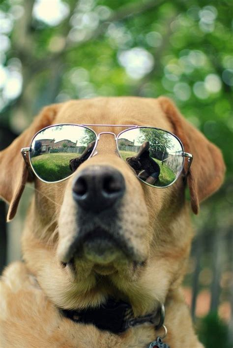 why do golden retrievers howl 81 best dogs with sunglasses images on
