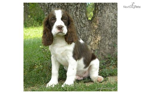 bench dogs for sale english springer spaniel puppy for sale near springfield