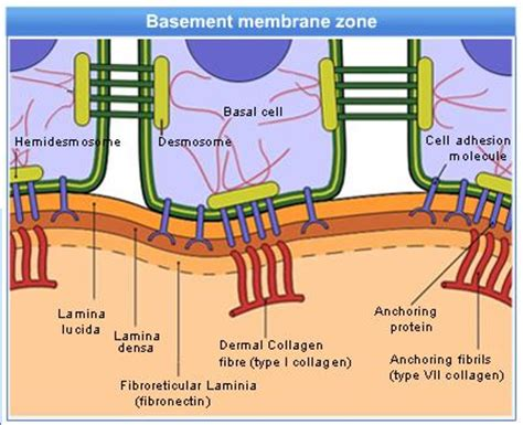 basement membrane components genetic disorder october 2012