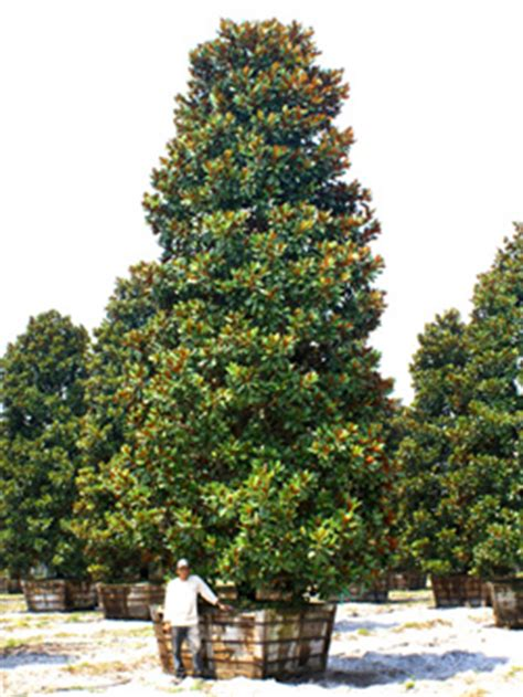 mature magnolia trees for sale large specimen trees