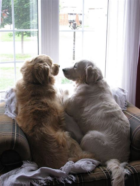golden retriever dog house our friday evenings at home be like that s me adoring you
