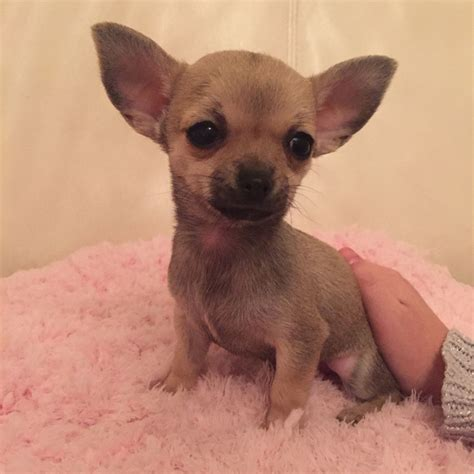 teacup puppies for sale in colorado teacup puppies for sale uk west midlands breeds picture breeds picture