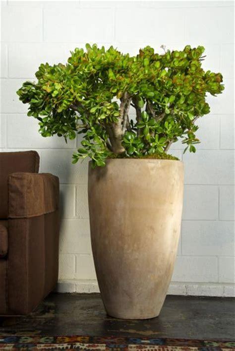 houstons  indoor plant pot store jade plant