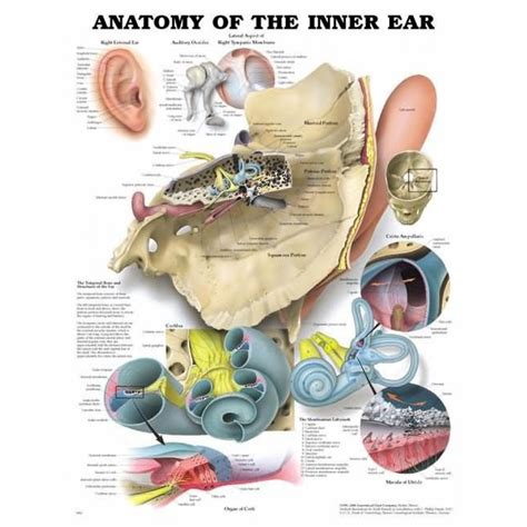 ear chart inner ear chart ear anatomy poster 9781587790850