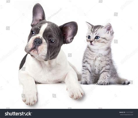 bulldog puppies maine picture 8 of 23 bulldog puppies maine new cat kitten