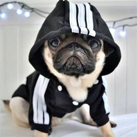 pug fashion 1000 ideias sobre filhotes de pug preto no pugs filhotes de pug e pug preto