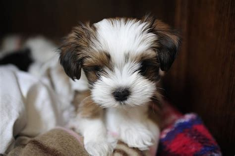 maltese shih tzu mix puppies shih tzu maltese mix the beautiful things in
