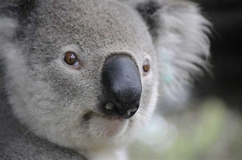 libro the natural world close up im 225 genes de tiernos koalas para descargar animales hoy