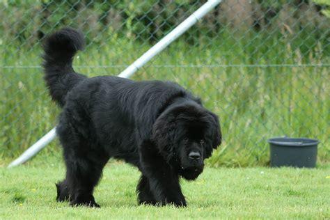 hund pinkelt in wohnung wenn er alleine ist kann einen gro 223 en hund in einer wohnung halten