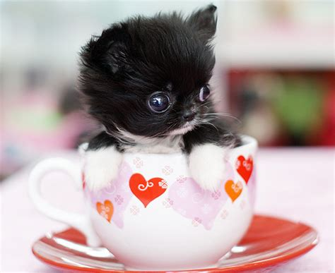 cup puppy adorable pics of tea cup puppies pets world