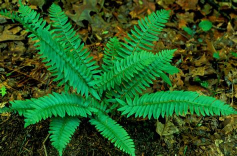 kentucky native plant and wildlife plant of the week christmas fern polystichum acrostichoides