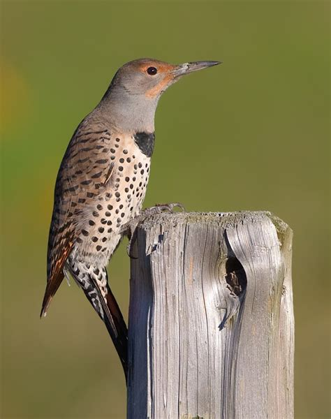 northern flicker drummer birdnote