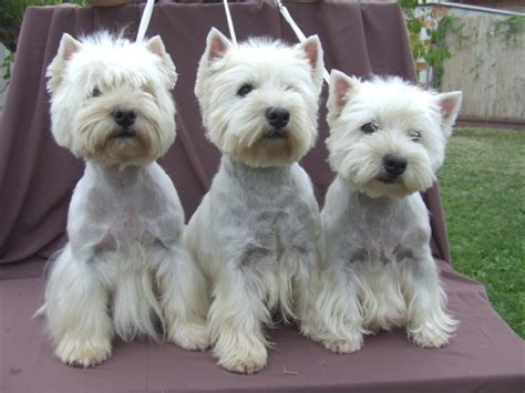 west highland white terrier dogs and puppies for sale in