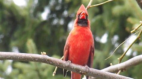 cardinal call youtube