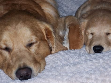 golden retriever runt darby the teeny runt of the litter our baby willow gorgeous golden