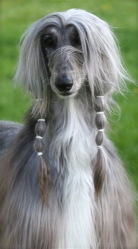 afghan puppies afghan hound afghans and dogs on
