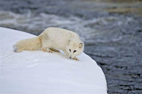 arctic fox wikipedia the free encyclopedia arctic fox kids encyclopedia children s homework help