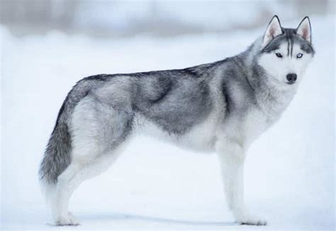 alaskan dogs alaskan breeds the spirit of the in your canine companion