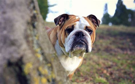 Bulldog Also Search For Bulldog Wallpapers 2017 2018 Best Cars Reviews