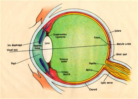 eye section eye sagittal section diagram bing images