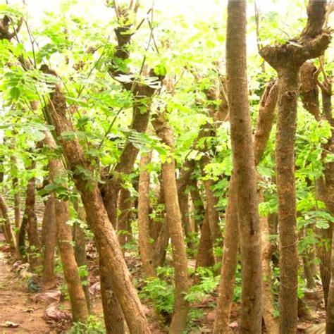Bibit Sengon Di Medan pohon jual aneka bibit pohon dan tanaman hias halaman 16