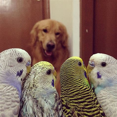 golden retriever species this golden retriever snuggling with his bird and hamster besties proves knows no