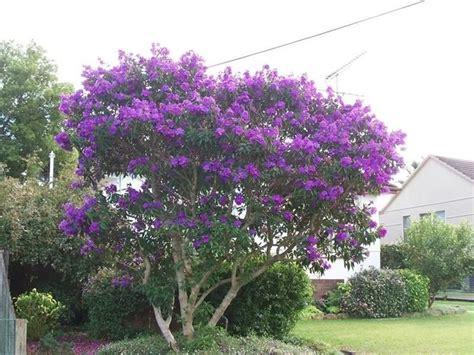 fiori albero di giuda siliquastro piante da giardino coltivazione albero di