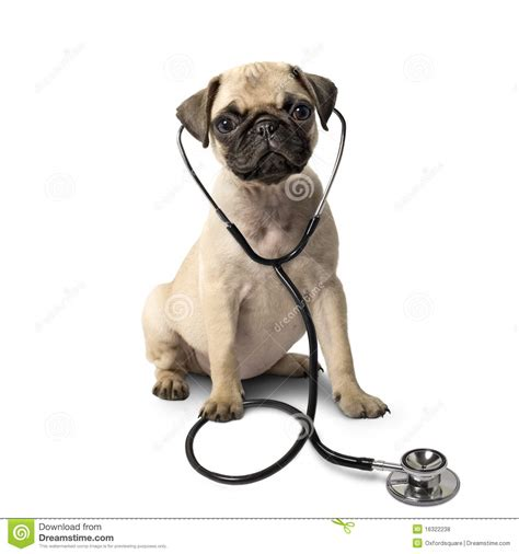 pug virus pug and a stethoscope stock photo image of virus 16322238
