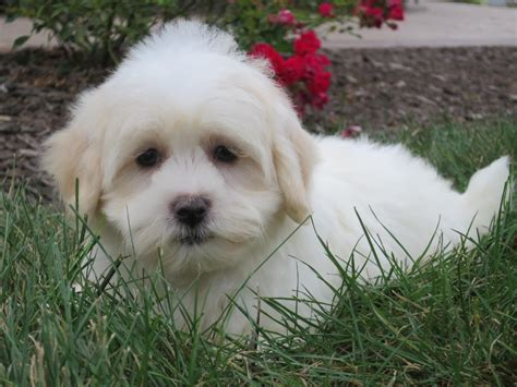 coton puppies available coton de tulear for sale by dave chupp puppies american kennel club