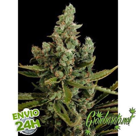 semillas de marihuana interior las 10 mejores semillas para cultivo interior