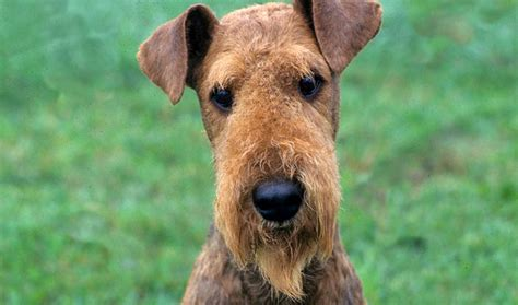 airedale cut airedale terrier breed information