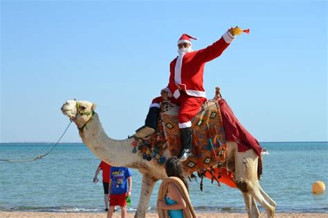 christmas camels santa arrived by camel on morning picture of coral sea waterworld resort sharm el