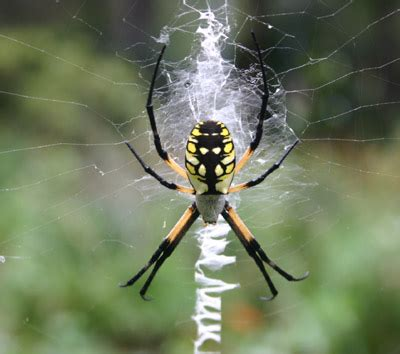 spiders with zig zag pattern on web the writing spider baddest mother ever