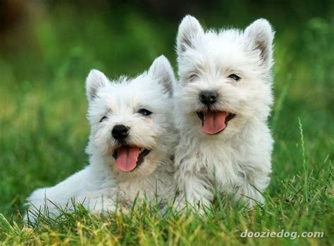 westie dogs westie puppies westies