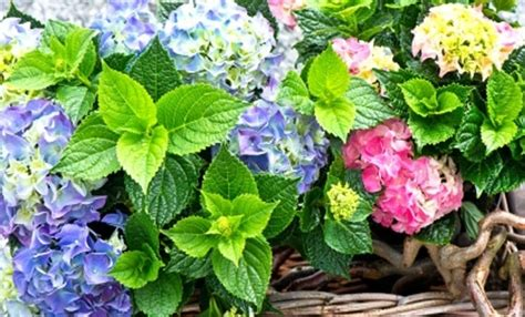 alberi colorati da giardino fiori da giardino piante da giardino le