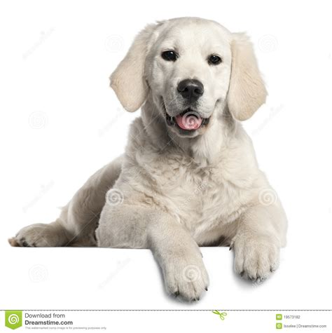 golden retriever puppy 5 months golden retriever puppy 5 months stock photography image 19573182