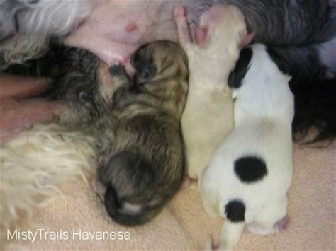 raising two puppies from different litters whelping and raising puppies a term preemie fading puppy premature in