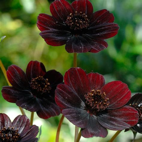 Black Flowers by 15 Most Beautiful Black Flowers Pollen Nation