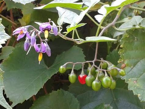 plant identification deadly nightshade and bittersweet nightshade youtube