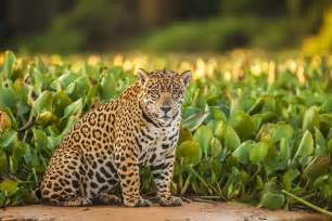 Show Me A Picture Of A Jaguar Meet El Jefe The Only Known Jaguar Living In The United
