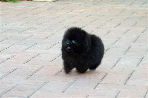 pomeranian black puppies puppies for sale