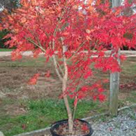 30 gallon maple tree bloodgood japanese maple dallas supply and wholesale nursery outdoor warehouse supply