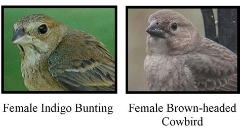 wild birds unlimited how do you tell a female indigo