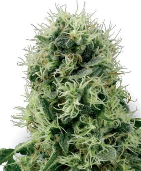 best seed company power plant feminised seeds white label