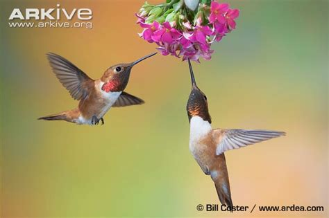 rufous hummingbird videos photos and facts selasphorus