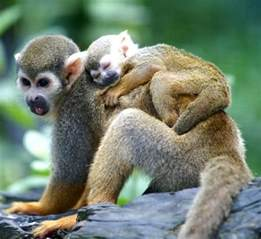 squirrel monkey as pet about pet life