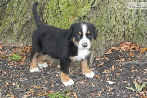 swiss mountain puppies for sale is a greater swiss mountain right for you breeds picture