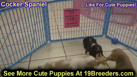 puppies for sale in rockford il cocker spaniel puppies dogs for sale in chicago illinois il 19breeders