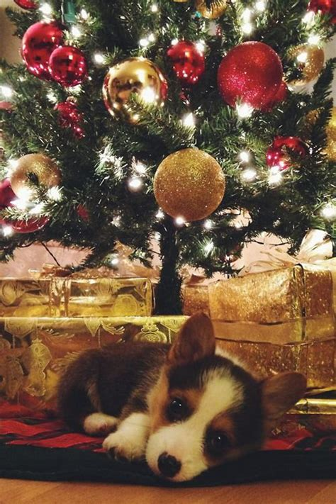 henry the s corgi a feel festive read to curl up with this books corgis that are adorably in the spirit